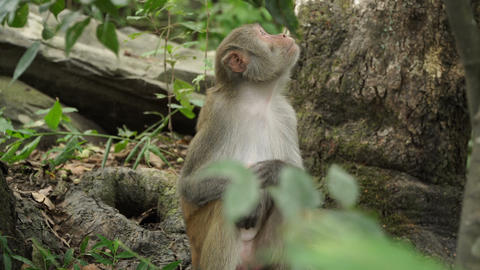 Monkey in the wild jungles of Asia Live Action