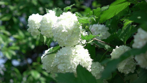 Video of white hydrangea in real slow motion Archivo