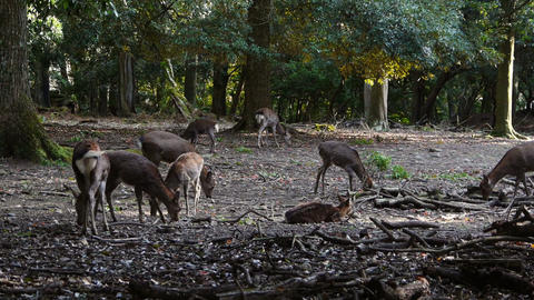 Group of deers in Japanese forest Archivo