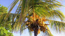 Coconut tree with coconuts Filmmaterial