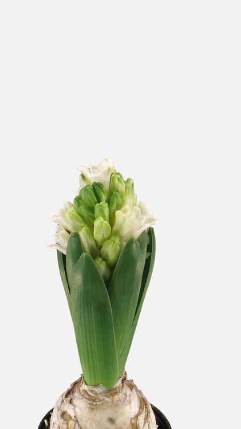 Time-lapse of growing white hyacinth Christmas flower with ALPHA channel Footage