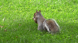 USA Washington D.C. American squirrel on lawn of National Mall Image