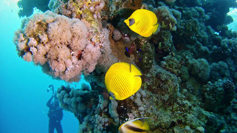 Marine life Yellow surgeonfishes in a coral reef Footage