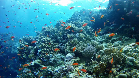 Red Sea scuba diving - Anthias fishes in a coral reef GIF
