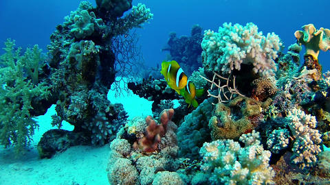 Red Sea life - Scuba diving, clown fishes in a coral reef Stock Video Footage