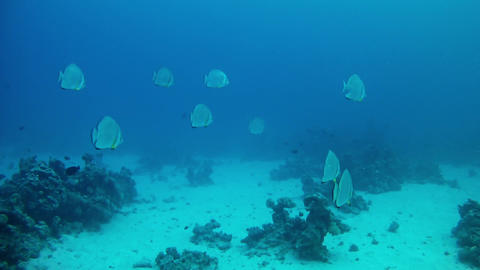 Red sea marine life Pinnate Batfishes school in the Red sea Live Action