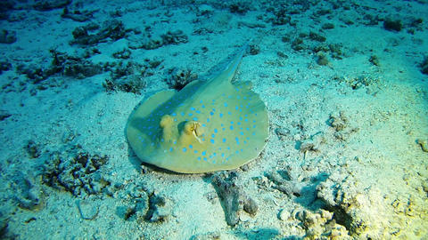 Marine Red Sea life - Underwater bluespotted sea ray Stock Video Footage