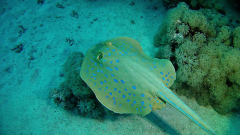 Bluespotted stingray swimming Marine sea life Live Action
