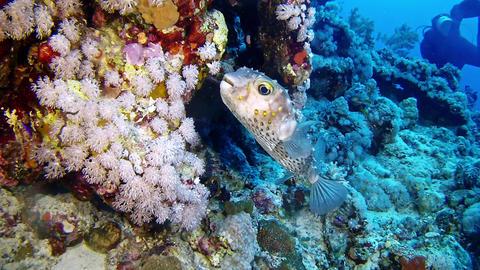 Underwater landscape Tamboril fish scuba diving in the Red Sea Footage