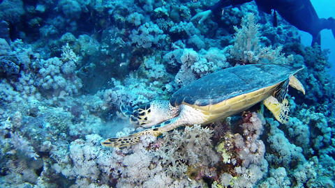 Marine life Sea Turtle looking for food in the Red Sea Live Action