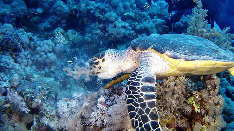 Marine life Sea Turtle looking for food in the Red Sea Stock Video Footage