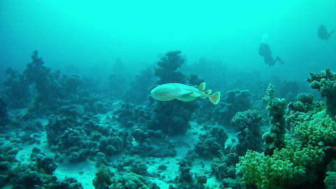 Torpedo sea ray swimming Marine life in the Red Sea Stock Video Footage