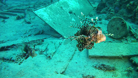 Lionfishes in a wreck Marine Red Sea life - Scuba diving Live Action