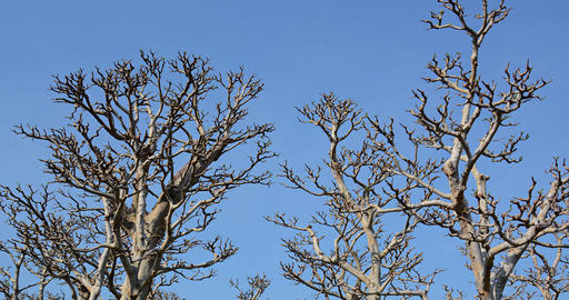 Lifeless Trunks and Branches of Trees against a Blue Sky GIF