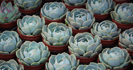 Dozens of potted Hen and Chicks Plants at a Garden Shop Live Action