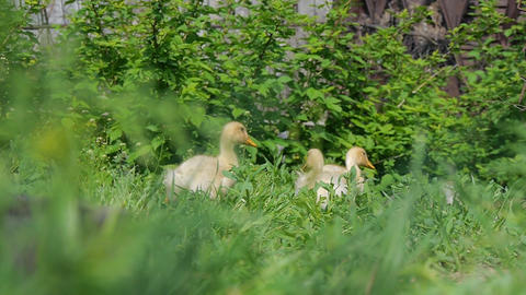 Ducklings walking through the grass drinking water, play eating grass sunny day Footage