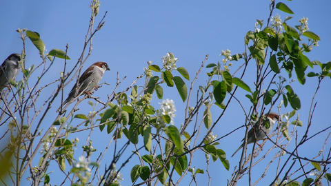 flock of sparrows perched on the branches of trees against the blue clear sky Footage