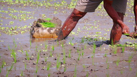 Local Laborer Planting Rice in Sticky Mud in Bali. Indonesia GIF