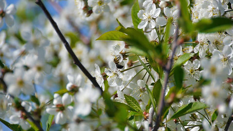 bee pollinating flowering trees spring flowers slow motion nature summer Live Action