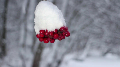 Red berries mountain ash under snow Live Action