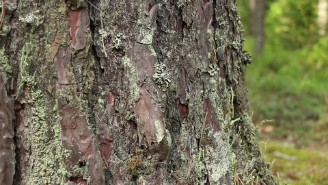 bark of a cracked pine tree Footage