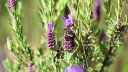 Honey bee on lavender Footage