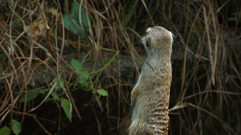 Solitary Meerkat Examines his Surroundings. with Sound GIF