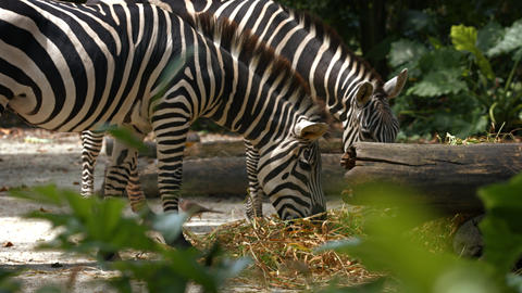 Pair of Zebras Grazing at the Zoo GIF