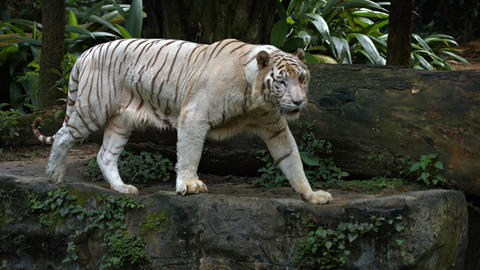 White Tiger Paces on a Rock at the Zoo. with Sound GIF