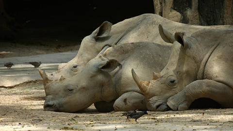 Three Mature Rhinoceroses Resting in the Shade at the Zoo GIF