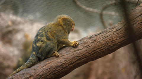 Cute Pygmy Marmosets at the Zoo GIF