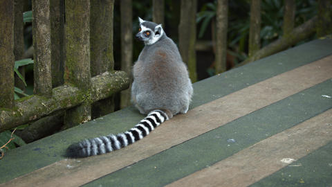 Mature Ring Tailed Lemur Sitting on a Wooden Deck Live Action