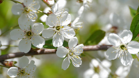 bee pollinating flowering trees spring flowers slow motion nature summer Image