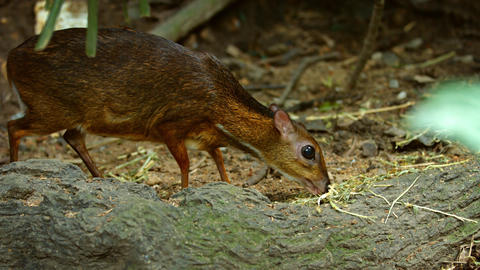 Javan Mouse Deer Grazing at the Zoo. with Sound Image