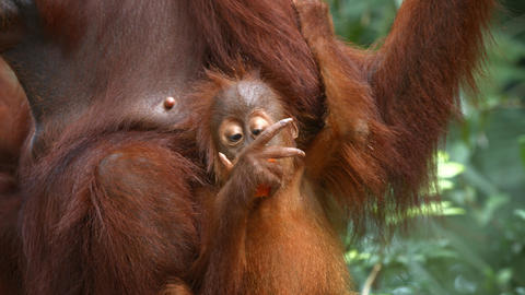 Baby Orangutan Clings to Mother while Eating Fruit at the Zoo GIF