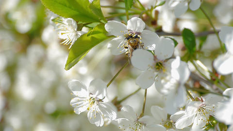 bee pollinating flowering trees spring flowers slow motion nature summer Footage