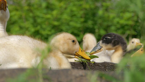 Ducklings walking through the grass drinking water, play eating grass sunny day Live Action