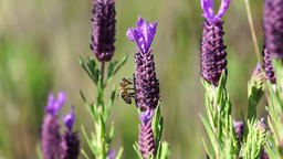Honey bee soaking on lavender Footage