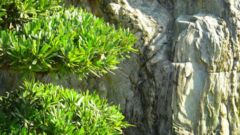 Leafy Branches of a Small Tree against a Cliff Face GIF
