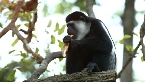 Mantled Guereza Monkey Eating a Banana at the Zoo Footage