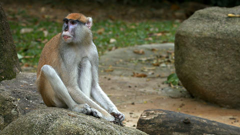 Patas Monkey Sitting on a Rock at the Zoo Footage