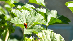 A pair of ladybird beetles mating on a leaf in spring Footage