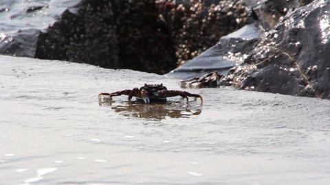 Crabs On The Sea Shore stock footage