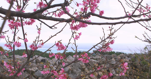Blooming cherry blossoms at the top of the mountain, and waves approaching the c Footage
