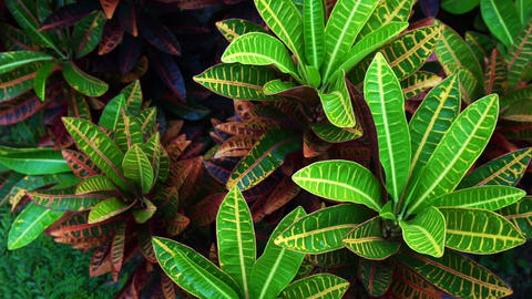 Tropical plant red and green leaves cordyline fruticosa Footage