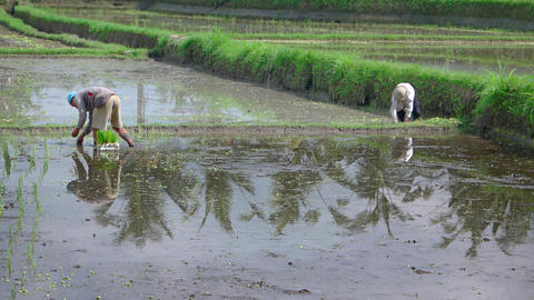 Balinese laborers planting rice on a farm in Ubud Footage