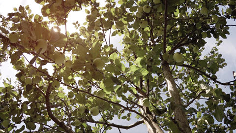 Gentle Breeze stirs Leaves and Branches of an Apple Tree Footage
