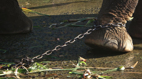 Captive Elephant Tied with a Chain in Southeast Asia Live Action