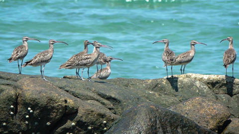 Fling of eight Far Eastern curlews. an endangered species. on a beach rock Live Action