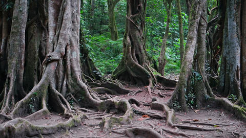 Eerie surface roots spread from mature. tropical trees in the jungle Footage